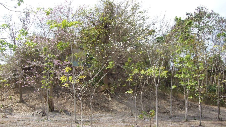 The Pouis struggle into flower, announcing the possible end to the dry season, 29 May 2016_San Fernando, Trinidad, TT_100_7231B_NR+sh4_900w_506h.jpg